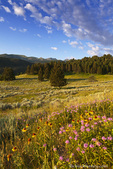 Wildflowers and the Gallatin Mountain Range above Spanish Creek in the Gallatin National Forest near Bozeman, Montana, USA