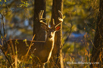 Large Whitetail buck with velvet antlers in morning light in Whitefish, Montana, USA