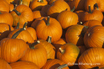 Wagon load of ripe pumpkins in the Flathead Valley near Kalispell, Montana, USA