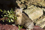 A pika in gathering forage in a rockpile at Logan Pass in Glacier National Park, Montana, USA