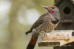 Northern flicker at bird feeder in Whitefish, Montana, USA