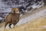Bighorn sheep ram on Altyn Ridge in Glacier National Park, Montana, USA