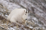 Billy Mountain Goat on Altyn Ridge in Glacier National Park, Montana, USA