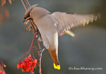 Bohemian Waxwings feed on mountain ash berries in Whitefish, Montana, USA