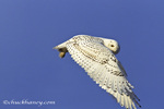 Female snowy owl in flight in Kalispell, Montana, USA