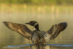 Male common loon drying his wings on Beaver Lake near Whitefish, Montana, USA