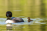 Female common loon with newborn chick on Beaver Lake near Whitefish, Montana, USA
