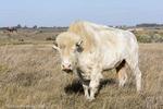 White Cloud a female albino buffalo at the National Buffalo Museum in Jamestown, North Dakota, USA