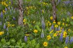 Spring wildflowers in the Columbia Gorge near Rowena, Oregon, USA