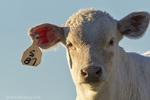 Charolais beef calf near Augusta, Montana, USA