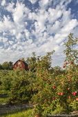 Ripe apples in orchard with quilt barn near Traverse City, Michigan, USA