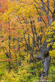 Autumn color in the forest near Copper Harbor, Michigan, USA