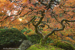 Maple tree at the Japanese Gardens in autumn in Portland, Oregon, USA