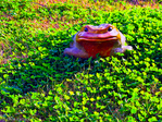 Ceramic toad in feild of young clover, Richmond, Tx.