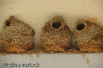 Cliff swallow (Petrochelidon pyrrhonota) mud pelleted nests on a Texas Hiway overpass Richmond, Tx.