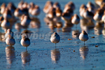 Sanderlings (Calidris alba) resting on sandbar, during spring migration