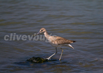 Western Willet (Catoptrophorus inornatus) foraging at shoreline