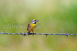 "Male Dickcissel (Spiza americana) perched on barbed wire ""Texas Property Vine"""
