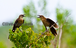 Great-tailed Grackle female (Quiscalus mexicanus) with fledgling