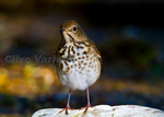 Hermit Thrush (Catharus guttatus) in fall