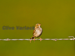 Savannah Sparrow (Passerculus sandwichensis) in fall