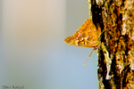 Hackberry Butterfly (Asterocampa celtis) on a pine tree