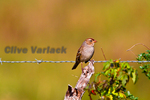 Field Sparrow (Spizella pusilla) foraging during fall migration