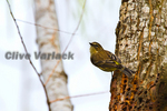 Yellow Rump Warbler (Dendroica coronata) in winter, at woodpeckers food tree