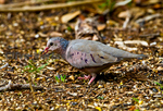 Ground Dove (Columbina passerina) forages in winter