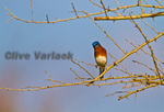 Eastern Bluebird (Sialia sialis) in winter