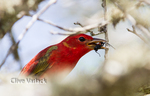 Male Summer Tanager eating a wasp