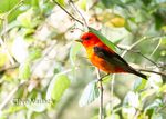 5156 Scarlet Tanager (Piranga olivacea) during spring migration