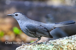 1535 Gray Catbird (Dumetella carolinensis) during fall migration