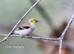 3961 American Gold Finch (Carduelis tristis) in winter