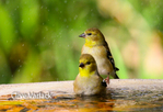 4052 American Gold Finch (Carduelis tristis) in winter bath