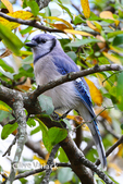 3720 Blue Jay (Cyanocitta cristata) being curious