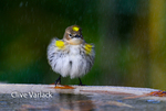3940 Myrtle Warbler (Dendroica coronata) bathing in fall