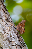 4028 Hackberry Butterfly (Asterocampa celtis) at a sap lick