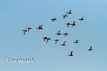 3396 Migrating Waterfowl