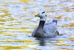 9475 Bar-headed Goose (Anser indicus) in winter