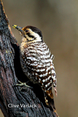 3692 Ladder-Backed Woodpecker female foraging