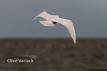 6079 Glaucous Gull ( Larus hyperboreus) in winter