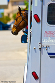 Horse in trailer at gas station