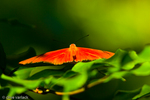 Julia Longwing (Dryas iulia)