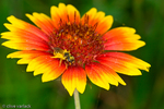 Bee pollinating a gaillardia flower
