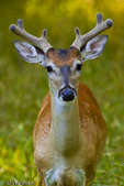 Whitetail Deer Buck (Odocoileus virginianus)  in velvet