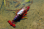 Dead Crawfish in flood retention pond