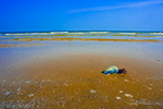 Beached Portuguese Man of War