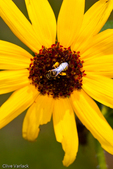 Sweat Bee (Halictidae) on sunflower bloom
