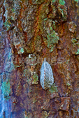 Pus Caterpillar on oak tree trunk with sheet web